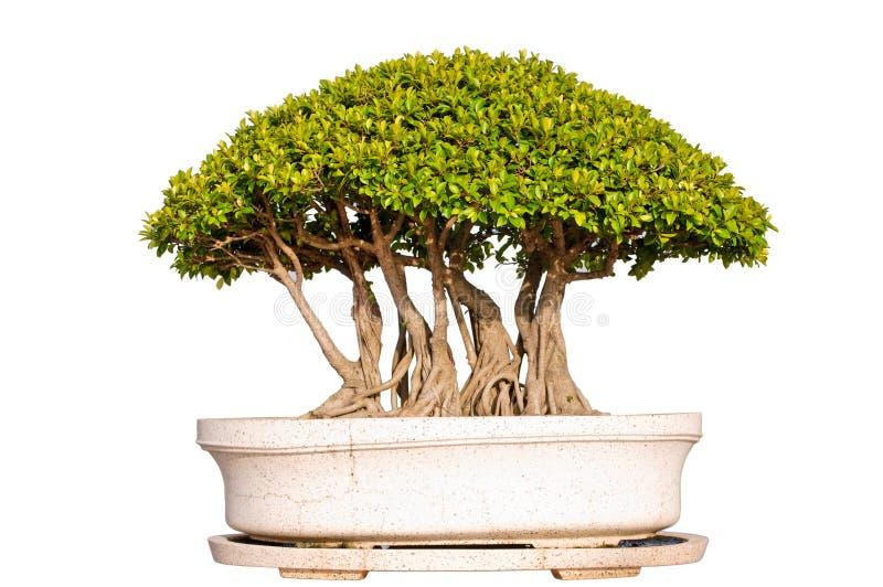 Download απομονωμένο λευκό δέντρω&nu Στοκ Εικόνες - εικόνα από χρώμα, ιαπωνία: 17052312