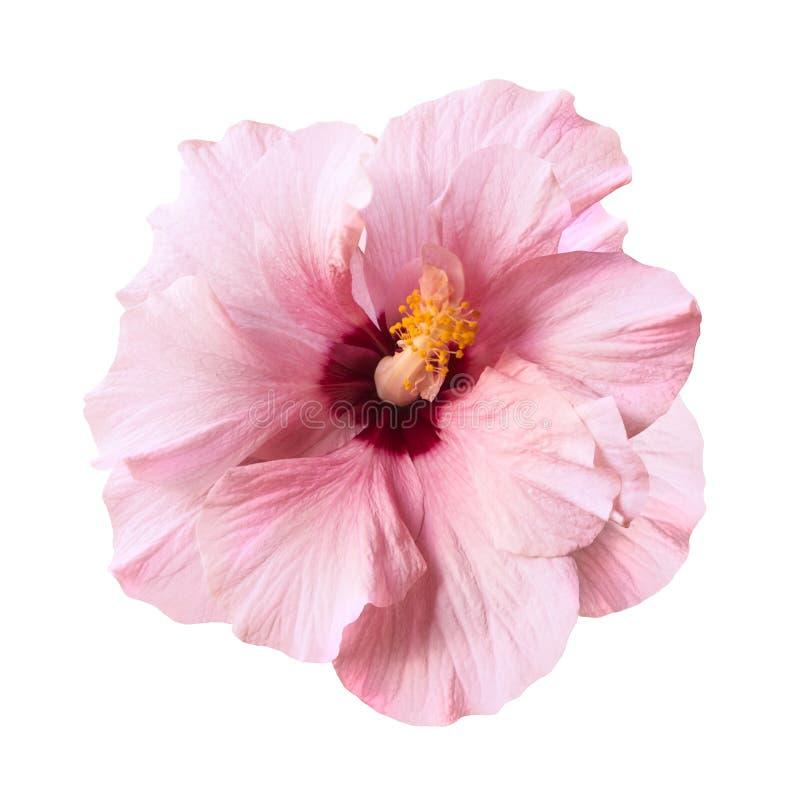 Απομονωμένο λουλούδι ροζ χρώματος στοκ φωτογραφίες