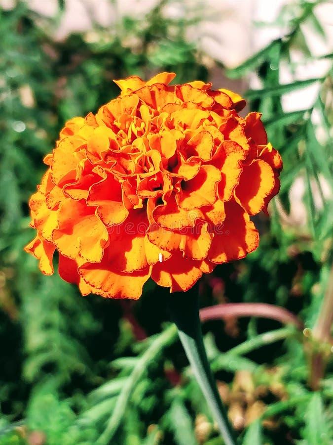 απομονωμένο λουλούδι marigold λευκό στοκ φωτογραφία με δικαίωμα ελεύθερης χρήσης