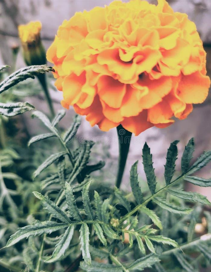 απομονωμένο λουλούδι marigold λευκό στοκ φωτογραφίες με δικαίωμα ελεύθερης χρήσης
