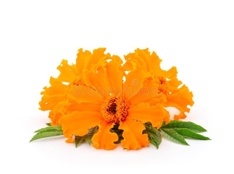 απομονωμένο λουλούδι marigold στοκ φωτογραφίες