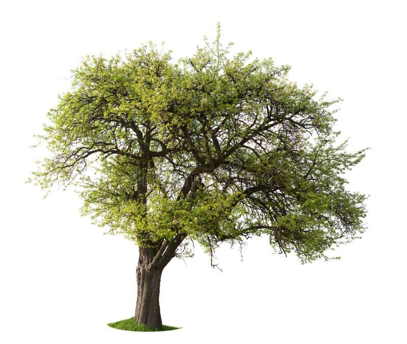 απομονωμένο μήλο δέντρο στοκ εικόνες