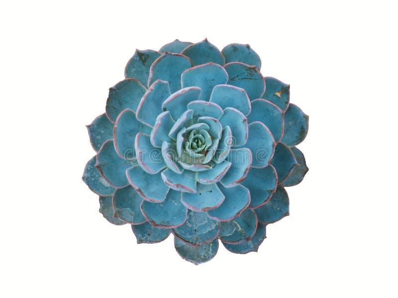 απομονωμένο μπλε echeveria στοκ φωτογραφία