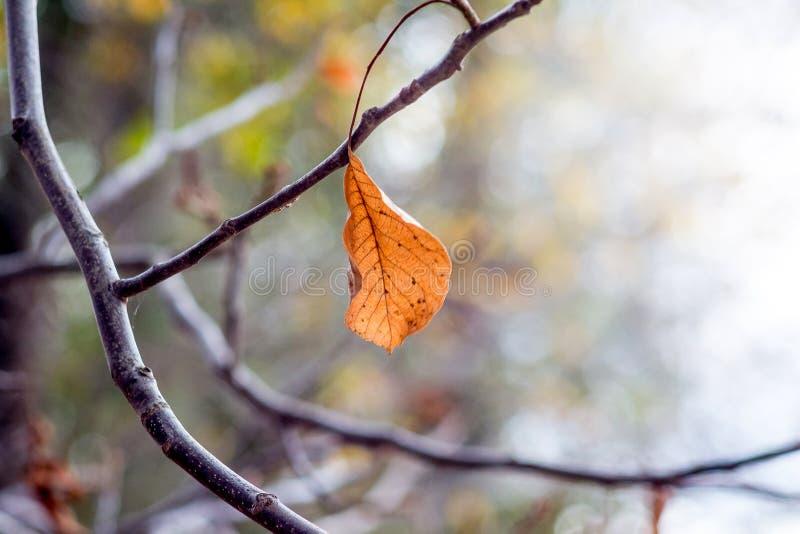 Απομονωμένο ξηρό πορτοκαλί φύλλο σε έναν γυμνό κλάδο το φθινόπωρο Φθινόπωρο sadness_ στοκ εικόνες