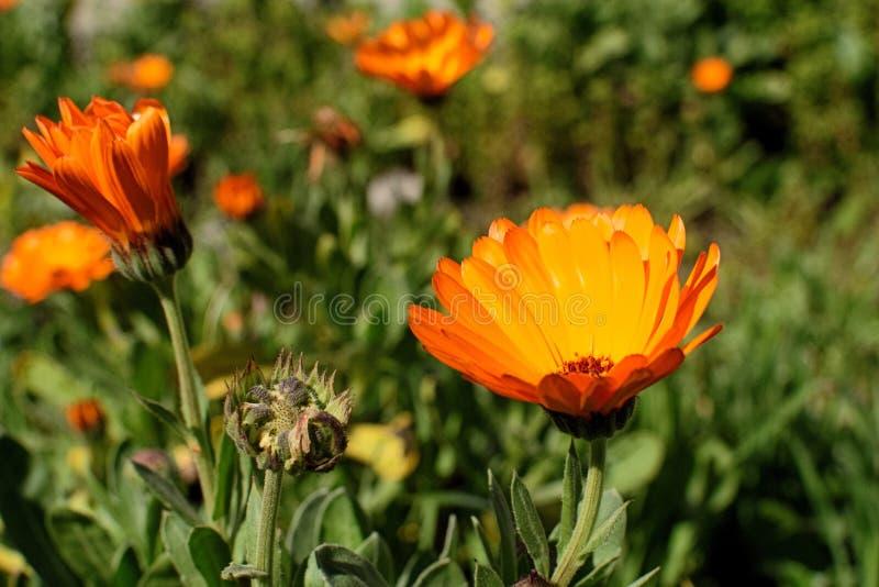 απομονωμένο λουλούδι marigold λευκό στοκ εικόνες