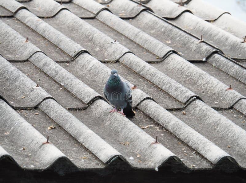 Απομονωμένο περιστέρι στη βρώμικη στέγη στοκ φωτογραφίες