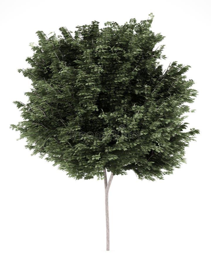 απομονωμένο πεδίο λευκό δέντρων σφενδάμνου στοκ φωτογραφία με δικαίωμα ελεύθερης χρήσης