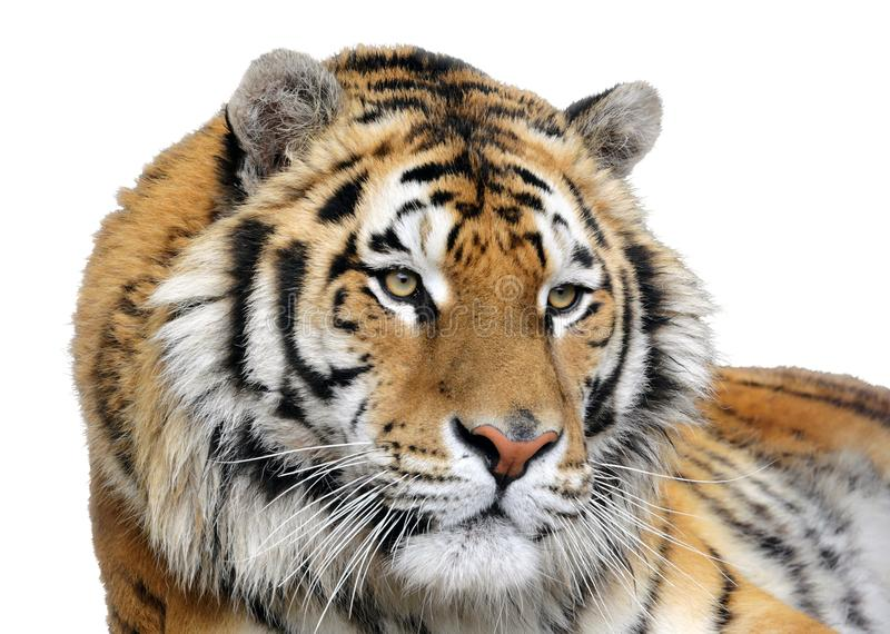 Απομονωμένο πορτρέτο μιας τίγρης στοκ εικόνες με δικαίωμα ελεύθερης χρήσης
