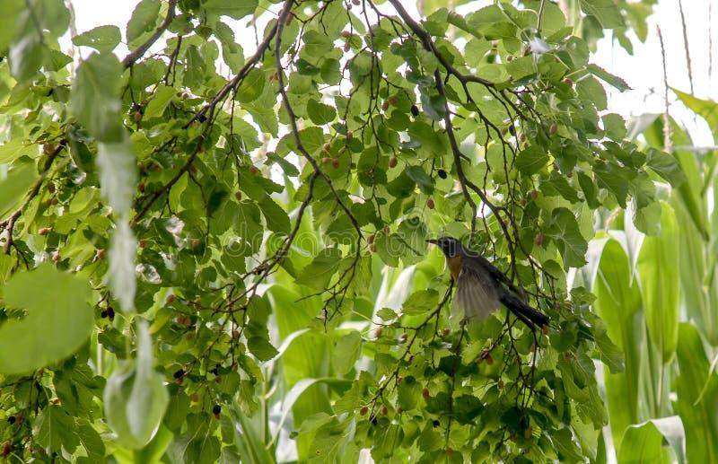 Απομονωμένο πουλί στο δέντρο μούρων στοκ φωτογραφίες