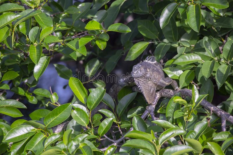 Απομονωμένο πράσινο iguana στοκ φωτογραφία με δικαίωμα ελεύθερης χρήσης