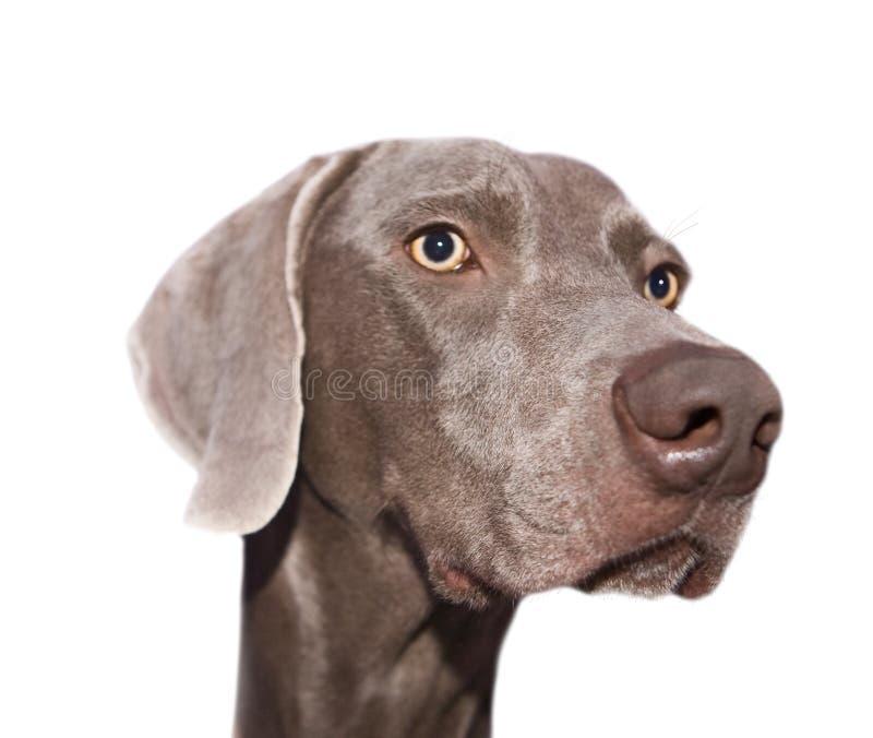 απομονωμένο σκυλί ρύγχο&sigmaf στοκ εικόνα