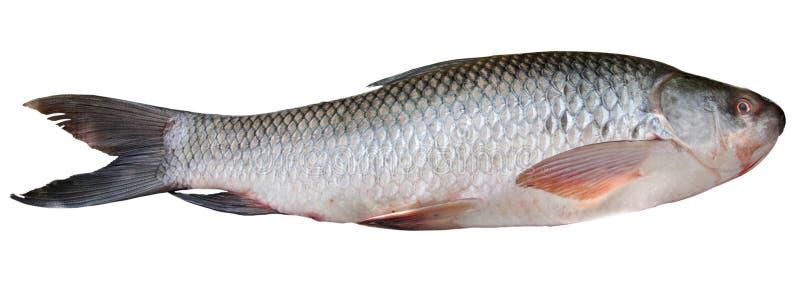 απομονωμένο ψάρια λευκό rohu στοκ εικόνες