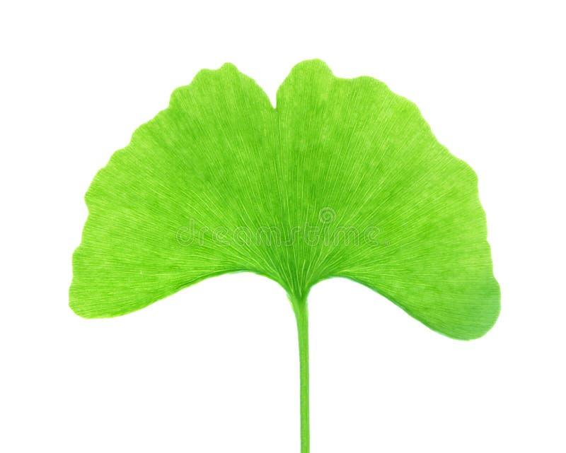 απομονωμένο ginkgo φύλλο biloba στοκ εικόνες με δικαίωμα ελεύθερης χρήσης