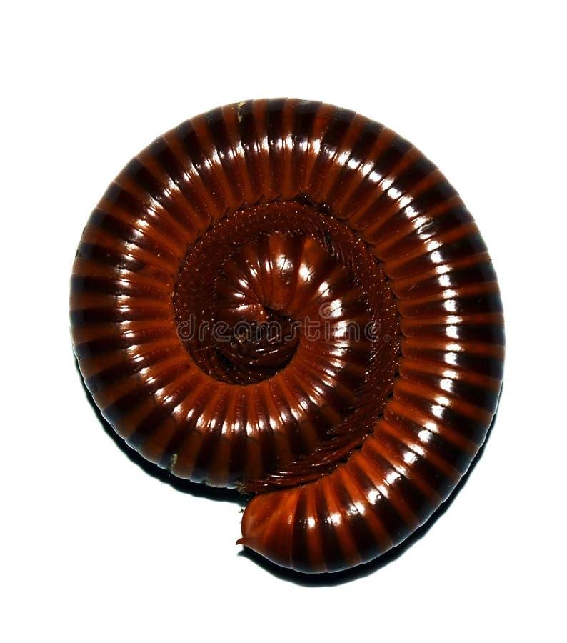 Απομονωμένο millipede κύκλων στο άσπρο υπόβαθρο στοκ εικόνα με δικαίωμα ελεύθερης χρήσης