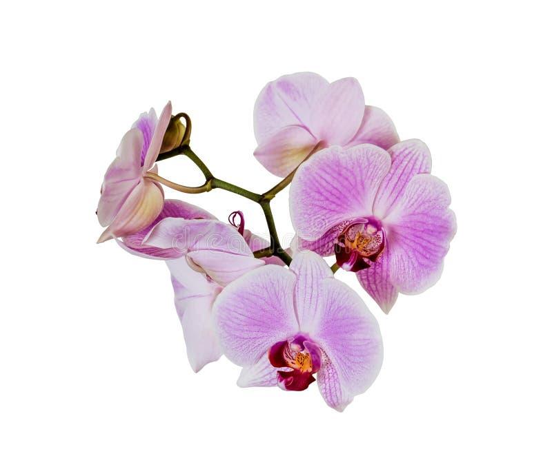 απομονωμένο orchid πορφυρό λε&ups στοκ φωτογραφία με δικαίωμα ελεύθερης χρήσης