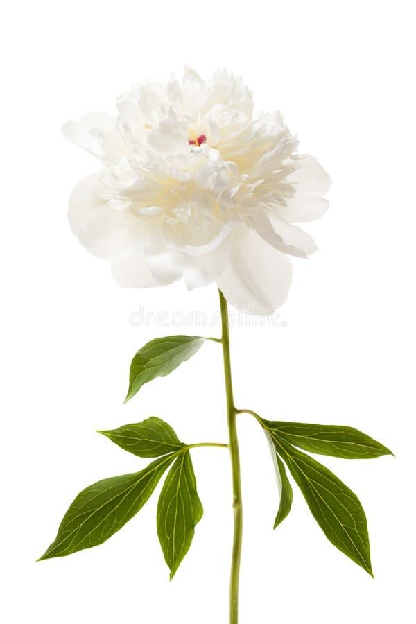 Απομονωμένο peony λουλούδι στοκ εικόνα