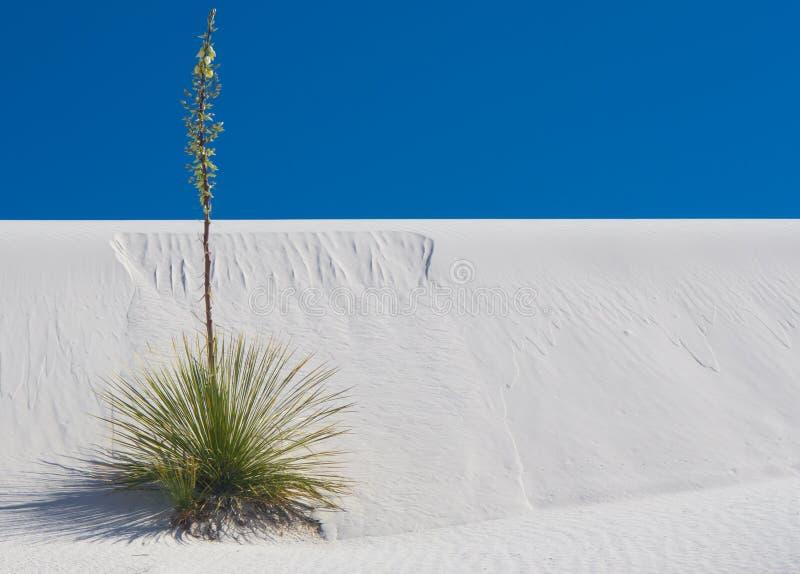 Απομονωμένο Soaptree Yucca στις άσπρες άμμους στοκ εικόνα