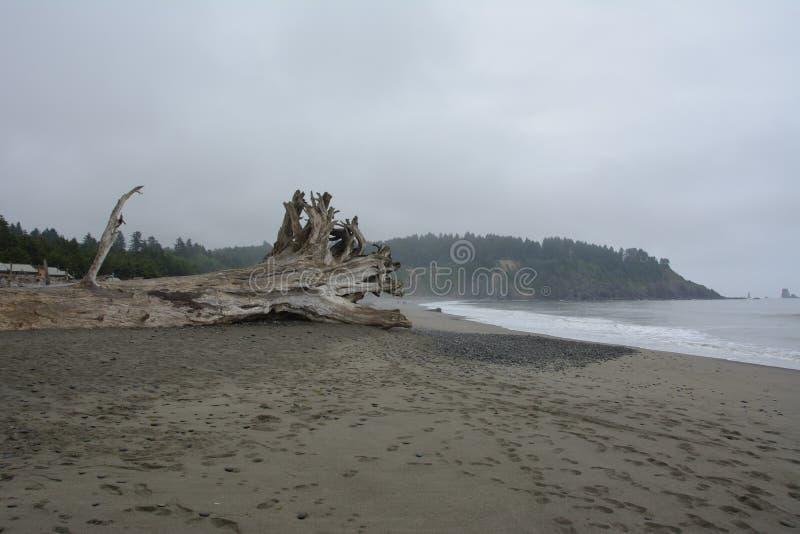 Απορριμμένο δέντρο στην παραλία της ώθησης Λα, Ουάσιγκτον ΗΠΑ στοκ εικόνες