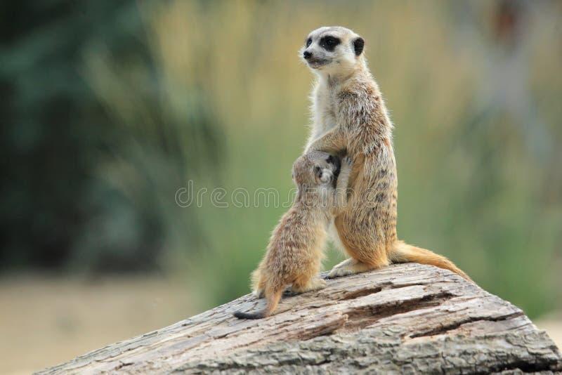 Απορρόφηση suricate στοκ φωτογραφίες με δικαίωμα ελεύθερης χρήσης