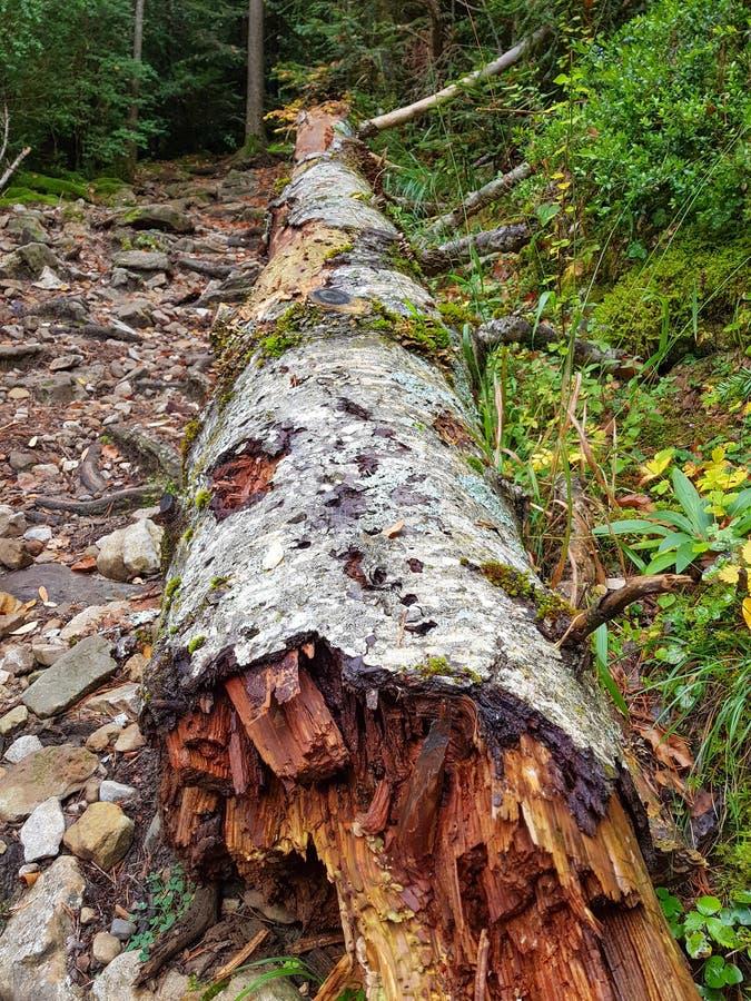 Αποσυντεθειμένο πεσμένο δέντρο που βάζει στη χλόη στο εθνικό πάρκο Ordesa Υ Monte Perdido, Huesca r στοκ εικόνα με δικαίωμα ελεύθερης χρήσης