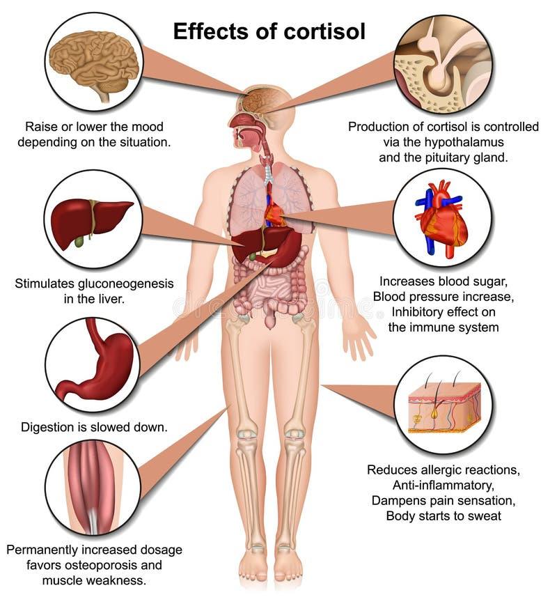 Αποτελέσματα cortisol στην τρισδιάστατη ιατρική διανυσματική απεικόνιση ανθρώπινων σωμάτων που απομονώνεται στο άσπρο υπόβαθρο διανυσματική απεικόνιση