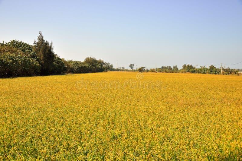 Αποφλοιωμένο πράσινο paddy στον τομέα του ρυζιού στοκ φωτογραφίες με δικαίωμα ελεύθερης χρήσης