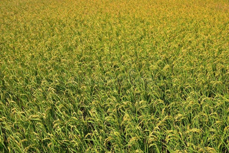 Αποφλοιωμένο πράσινο paddy στον τομέα του ρυζιού στοκ εικόνα