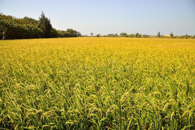 Αποφλοιωμένο πράσινο paddy στον τομέα του ρυζιού στοκ φωτογραφία