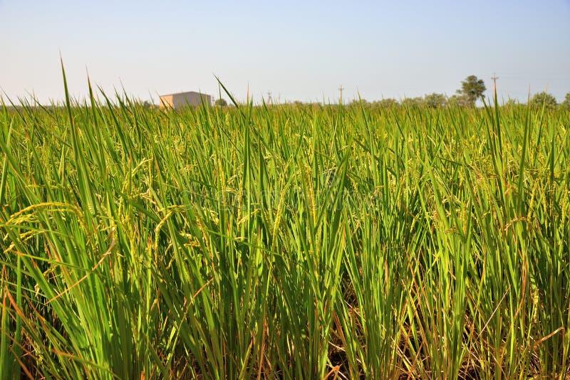 Αποφλοιωμένο πράσινο paddy στον τομέα του ρυζιού στοκ εικόνες
