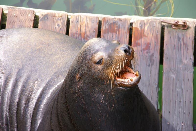αποφλοιώνοντας στοματική ανοικτή θάλασσα λιονταριών Καλιφόρνιας στοκ φωτογραφίες με δικαίωμα ελεύθερης χρήσης