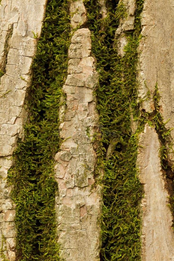αποφλοιώστε το δέντρο βρύου στοκ εικόνες