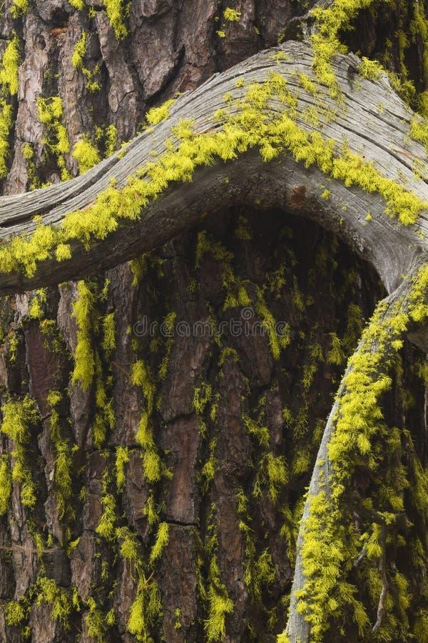 αποφλοιώστε το δέντρο βρύ στοκ φωτογραφίες με δικαίωμα ελεύθερης χρήσης