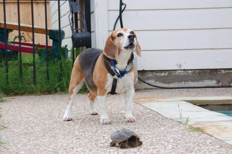 Αποφλοίωση λαγωνικών στη χελώνα στοκ εικόνες