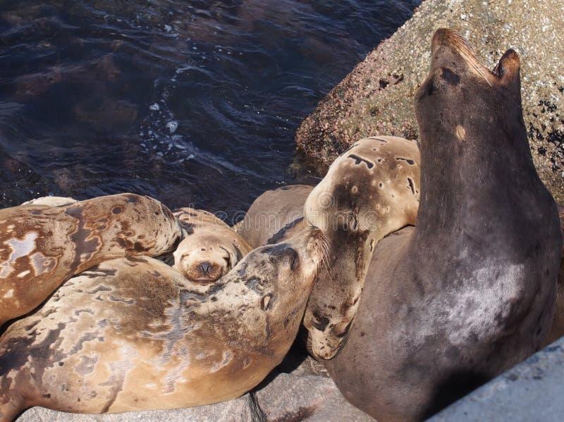 Αποφλοιώνοντας λιοντάρια θάλασσας στοκ εικόνα με δικαίωμα ελεύθερης χρήσης