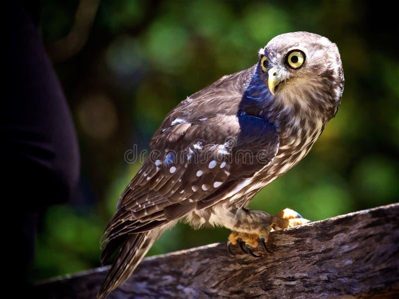 Αποφλοιώνοντας πουλί κουκουβαγιών στοκ εικόνα