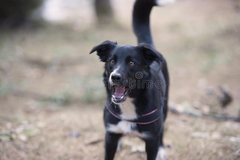 Αποφλοιώνοντας σκυλί στοκ εικόνα με δικαίωμα ελεύθερης χρήσης