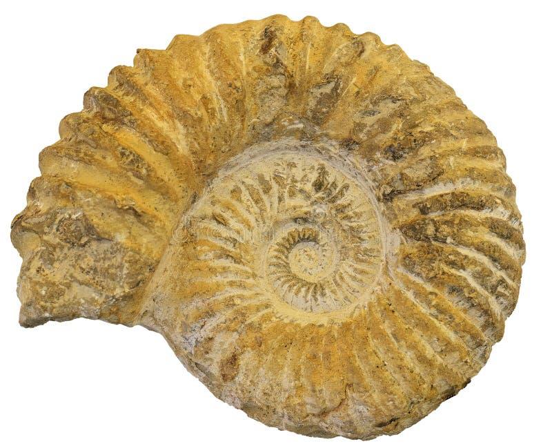 Απολιθωμένη Ammonite κινηματογράφηση σε πρώτο πλάνο στοκ εικόνες