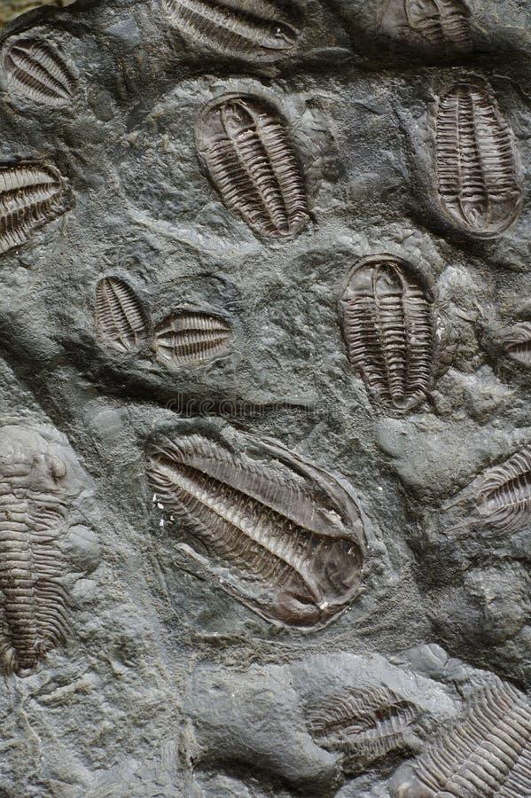 απολιθωμένος τριλοβίτη&sigm στοκ εικόνες με δικαίωμα ελεύθερης χρήσης