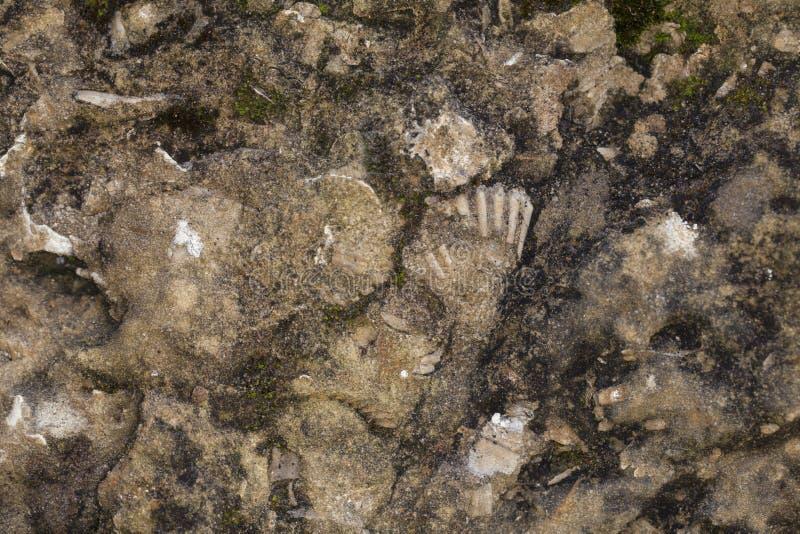 Απολιθώματα που απεικονίζονται στην πέτρα, στενός επάνω στοκ εικόνες με δικαίωμα ελεύθερης χρήσης