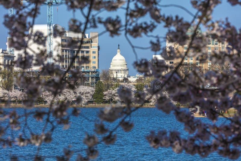 10 ΑΠΡΙΛΊΟΥ 2018 - ΟΥΑΣΙΓΚΤΟΝ Δ Γ - ΗΠΑ Capitol και άνθη κερασιών, Ουάσιγκτον Δ Γ , Παλιρροιακός Κεράσι, κράτη στοκ φωτογραφία