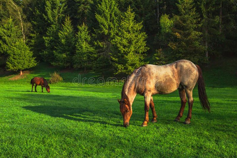 Απόκρυφη ανατολή πέρα από το βουνό Άγρια βοσκή αλόγων στο λιβάδι, Βουλγαρία, Ευρώπη στοκ εικόνες