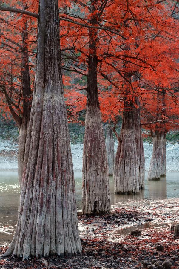 Απόκρυφο ελών κόκκινο κυπαρισσιών όμορφο τοπίο φθινοπώρου δέντρων ξύλινο Dy Anapa, Ρωσία, Καύκασος λιμνών Sukko στοκ φωτογραφίες