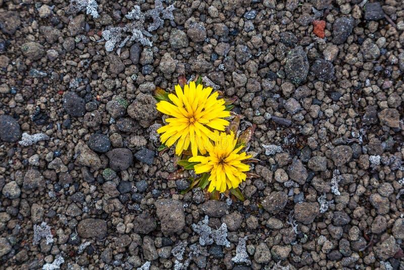Απόμερα κίτρινα λουλούδια στοκ εικόνα