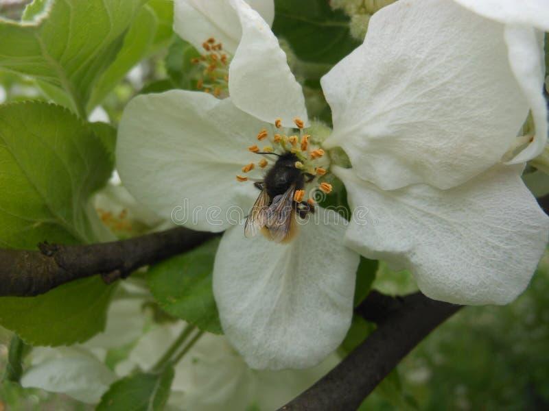 Απόμερες μέλισσες Σερβία στοκ εικόνες