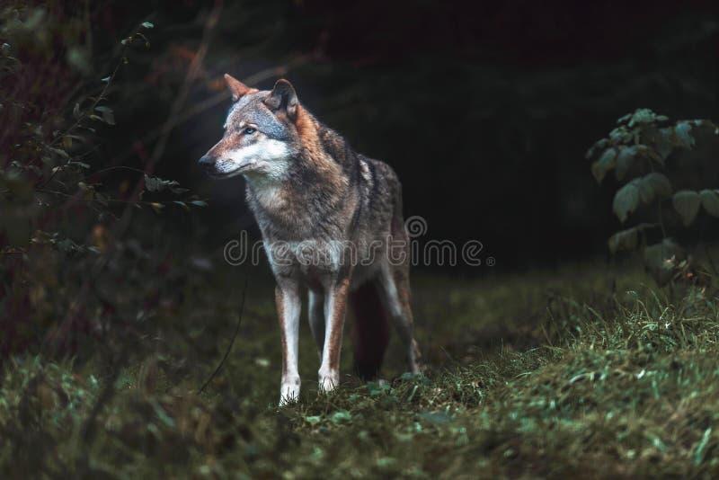 Απόμερος γκρίζος Λύκος Canis λύκων στο σκοτεινό δάσος στοκ φωτογραφία με δικαίωμα ελεύθερης χρήσης
