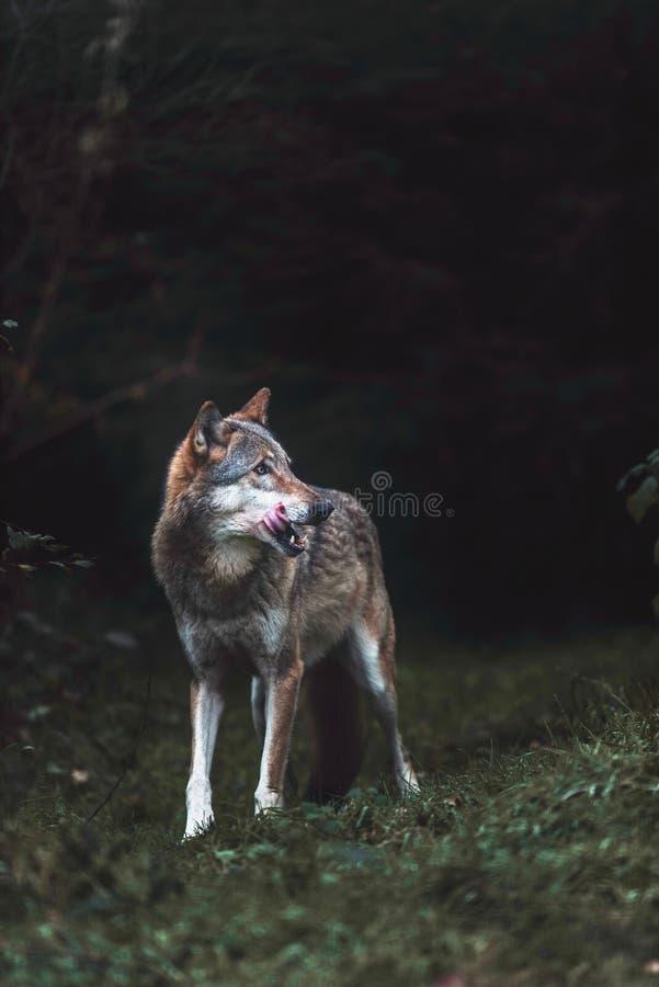 Απόμερος γκρίζος Λύκος Canis λύκων στο σκοτεινό δασικό Βορρά Ρήνος-Wes στοκ εικόνες