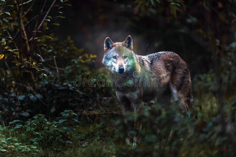 Απόμερος γκρίζος Λύκος Canis λύκων στο σκοτεινό δασικό Βορρά Ρήνος-Wes στοκ φωτογραφία με δικαίωμα ελεύθερης χρήσης