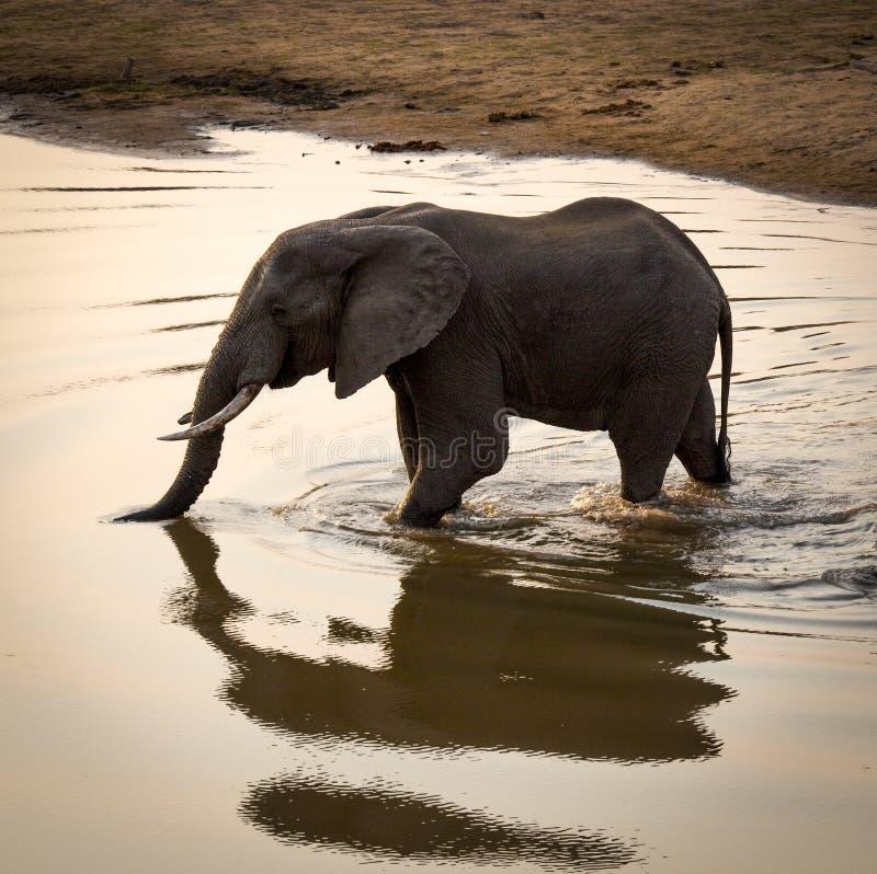 Απόμερος ελέφαντας που διασχίζει το νερό στοκ φωτογραφία με δικαίωμα ελεύθερης χρήσης