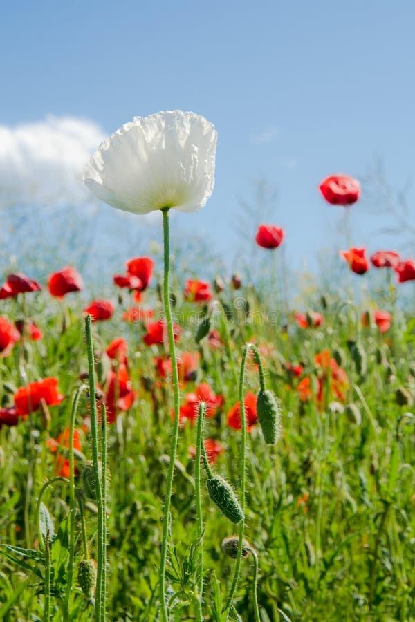 Απόμερο λουλούδι άσπρων παπαρουνών μπροστά από τις κόκκινες παπαρούνες στοκ εικόνες