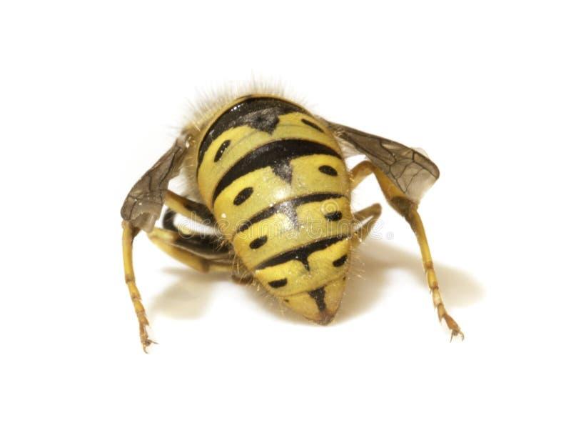 Απότομο χτύπημα μελισσών σε ένα άσπρο υπόβαθρο - ακραία κινηματογράφηση σε πρώτο πλάνο στοκ εικόνα